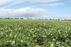 Panorama of the Pea crop
